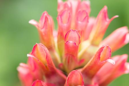 Close up crape ginger flower or Costus speciosus in garden Stock Photo