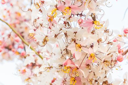 Plenty Cassia bakeriana Craib flower