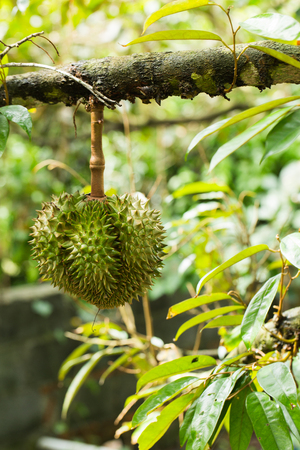 Durian fruit on the tree - durian is considered the king of tropical fruit Stock Photo