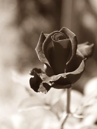black: black rose Stock Photo