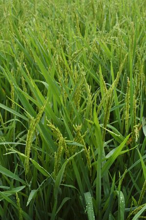 paddy field: Paddy Rice in the field