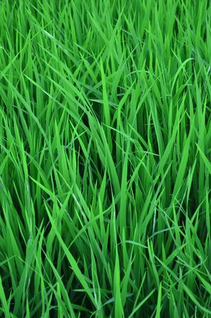 Rice  Sprout  In Field