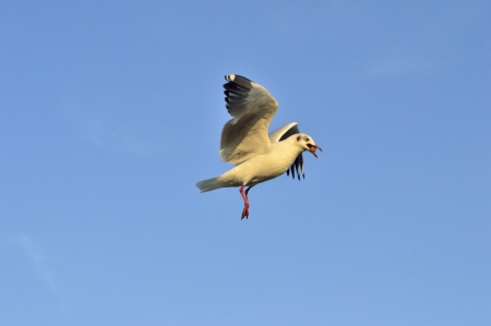 Seagull flying and hold Crackling in the mouth Stock Photo