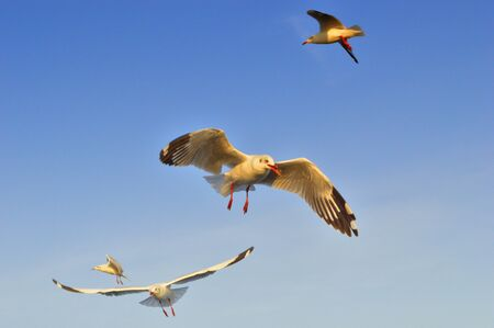 seagull flying action