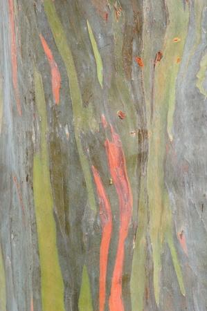 Eucaliptus tree texture