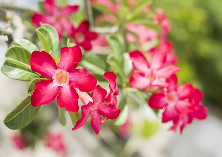 Desert Rose, Impala Lily, Mock Azalea fiore rosa photo
