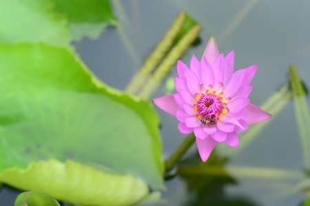 purple lotus flower water lilly  and  bee photo