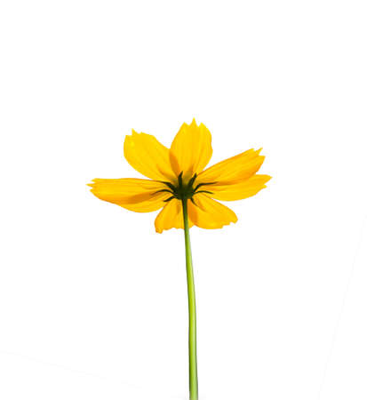 yellow cosmos flower  isolated white background with clipping path photo