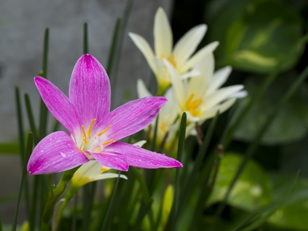 pink zephyranthes flowers,rain lily close up Stock Photo - 21447380