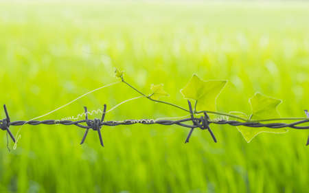 Treetop Gourd on barbed wire and green field  background photo