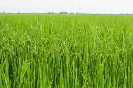 paddy rice, rice plant in field and drops of rain water photo