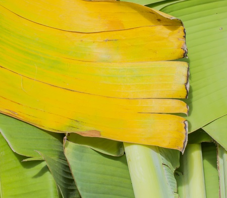 wither: Banana leaves to wither Stock Photo