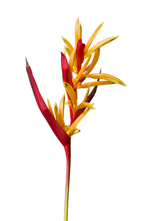 Heliconia flower isolate white background