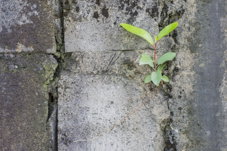 little tree growing up  in crack old concrete  wall