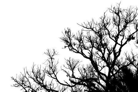 silhouette branch of  dead tree isolated on white photo