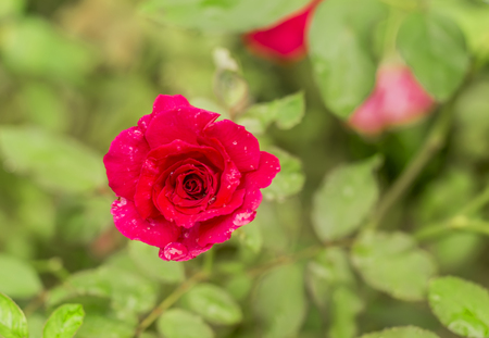 top view red rose bud and water drop in garden  photo