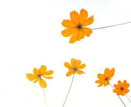yellow cosmos flower isolate on white  Stock Photo