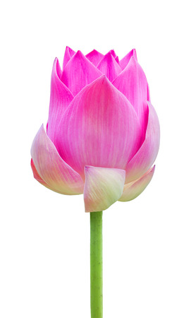 pink lotus ,water lilly isolate white background with clipping path photo