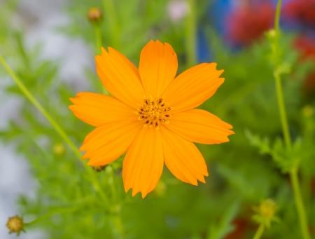 sulfur: top view Yellow cosmos flower,Sulfur Cosmos