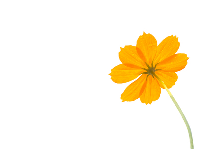 yellow cosmos flower and drap of rain water  isolate on white