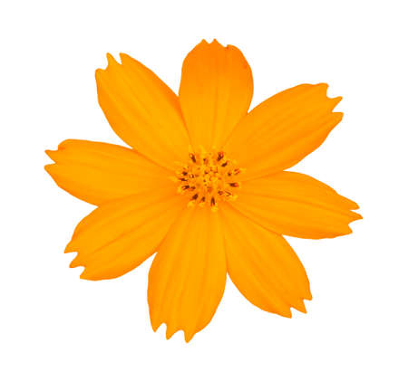 top view yellow cosmos flower isolate white background with clipping path photo