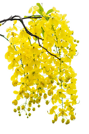 yellow Golden shower ,Cassia fistula flower on tree isolate white background