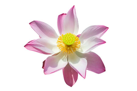 top view pink lotus, water lilly isolated white background with clipping path