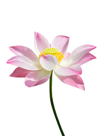 pink lotus, water lilly isolated white background with clipping path