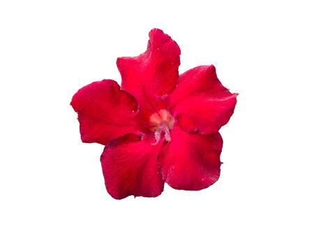 close up red Desert Rose, Impala Lily, Mock Azalea pink flower isolated white background Stock Photo