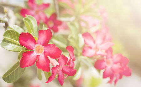 Desert Rose, Impala Lily, Mock Azalea pink flower photo
