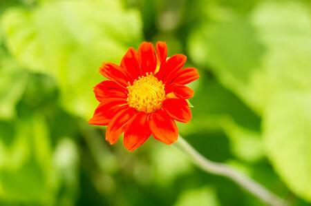 orange Zinnia flower and green background