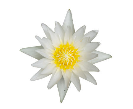 white  lotus ,water lilly isolated white background