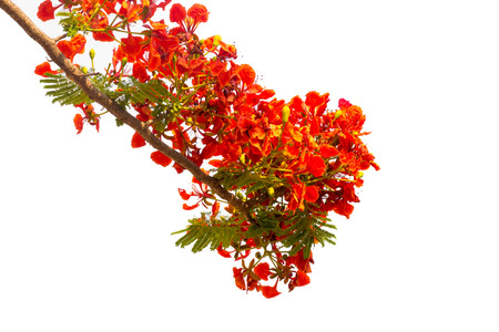 peacock flowers on poinciana tree. Isolated white background Stock Photo