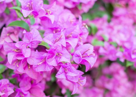 purple Flowering bougainvillea , magenta bougainvillea flowers