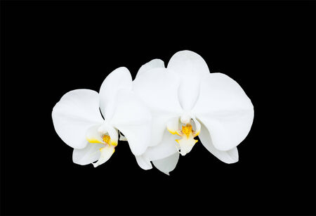 close-up bloom white orchid flower isolate black background  Stock Photo