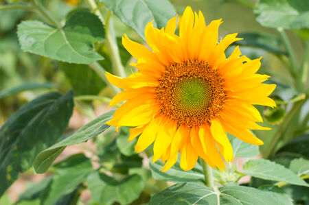 blooming sunflower in filed