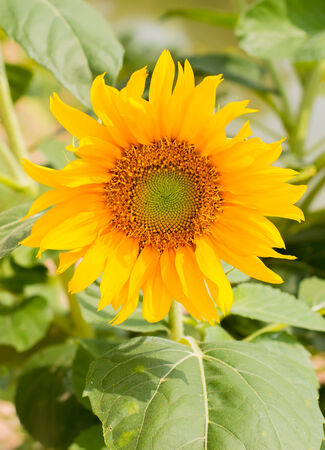 close up blooming sunflower in filed  Stock Photo