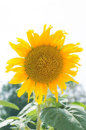 blooming sunflower in filed on white background