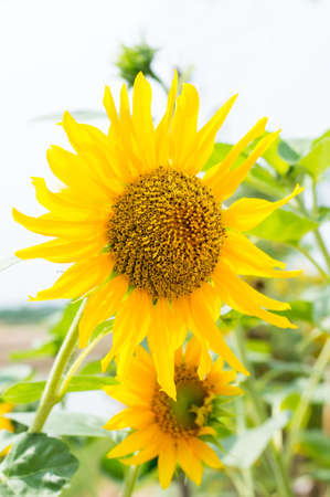 blooming sunflower in filed Stock Photo