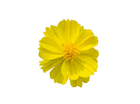 top view yellow cosmos flower isolate white background