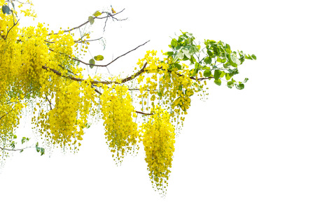 yellow Golden shower ,Cassia fistula flower on tree isolate white background with clipping path