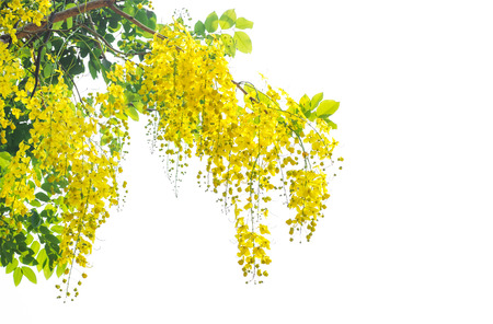 yellow Golden shower ,Cassia fistula flower on tree Stock Photo