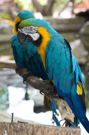 Blue-and-yellow Macaws or blue and yellow parrot Stock Photo