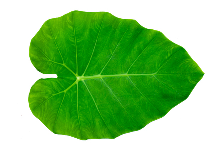Leaves Calathea ornata pin stripe background White Isolate Stock fotó