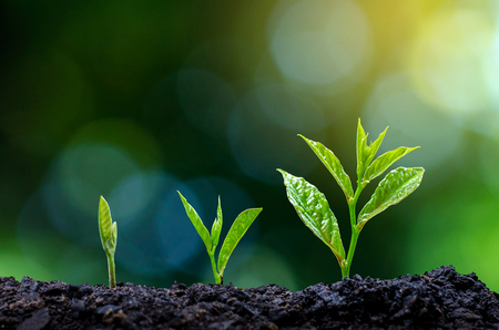 Development of seedling growth Planting seedlings young plant in the morning light on nature background Stok Fotoğraf - 117421260