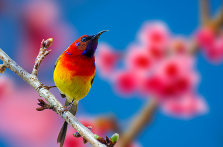 Red bird blue background perched on the branches Sakura Banco de Imagens