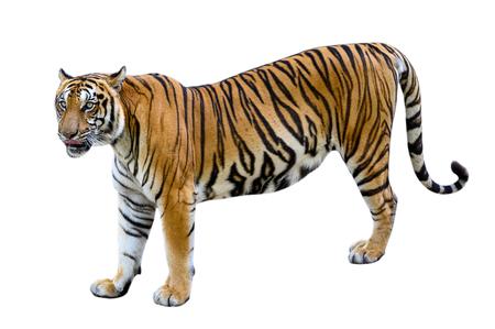 tigre Fondo blanco Aislar todo el cuerpo Foto de archivo