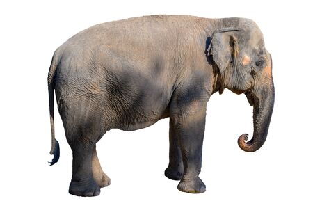Large brown elephant White background Isolate Stock Photo