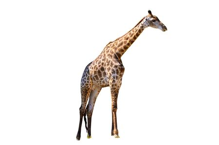 Large giraffe white background Isolate