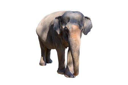 Large brown elephant White background Isolate Reklamní fotografie